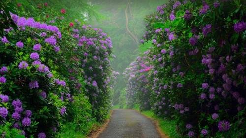 森佩尔森林公园中的黑海杜鹃,德国吕根岛 (© Sandra Bartocha/Minden Pictures)